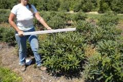 Edith Pride rhododendron