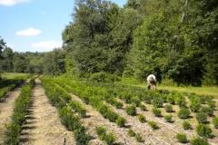 Boxwood fields