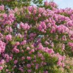 Japanese Lilac