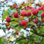 Red berry fruit of the cornus Kousa Dogwood Tree